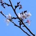 十月桜(ジュウガツザクラ)?