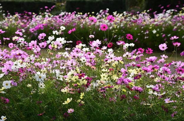 薔薇園奥の秋桜
