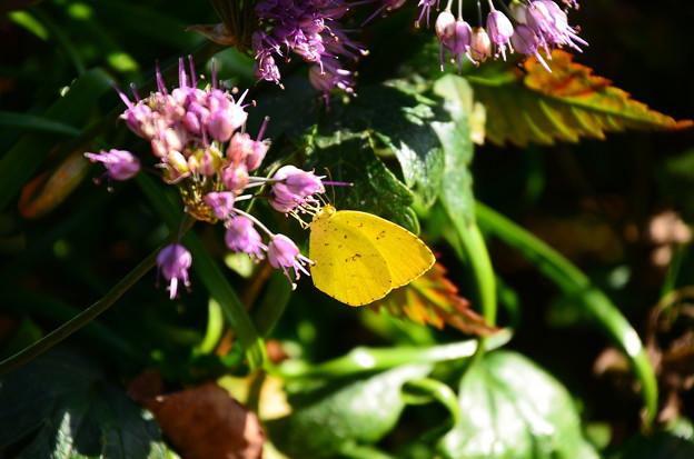 玉紫に止まる黄蝶(キチョウ)