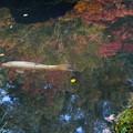 Photos: 紅葉を泳ぐ~