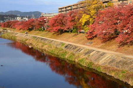 高野川の桜もみじ