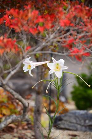 紅葉の下の高砂百合(タカサゴユリ)