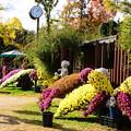 Photos: 懸崖造りの菊