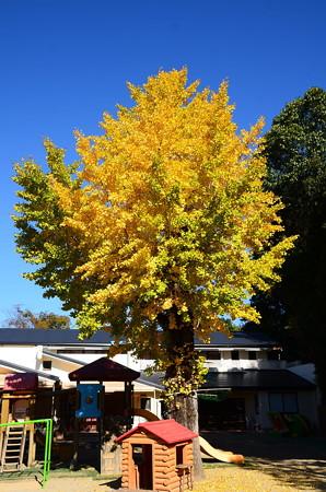 聖水幼稚園の公孫樹