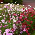 Photos: 植物園会館前の秋桜