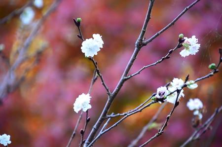 紅葉を背景に咲く子福桜(コブクザクラ)