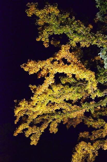 紫陽花園の楓(フウ)