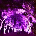Photos: 楠並木のライトアップ