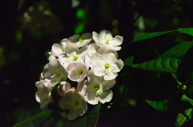 アッサム匂い桜(アッサムニオイザクラ)