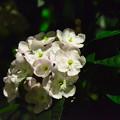 Photos: アッサム匂い桜(アッサムニオイザクラ)