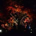 府立植物園紅葉のライトアップ