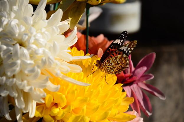 菊に止まるツマグロヒョウモン