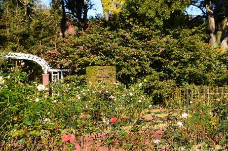 薔薇と山茶花