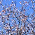 Photos: 満開の十月桜(ジュウガツザクラ)