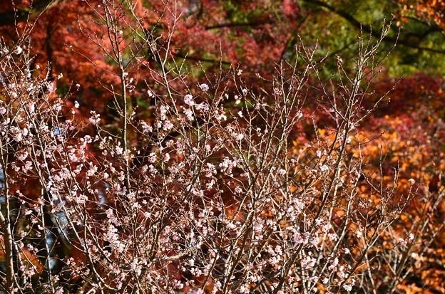 紅葉の前に咲く十月桜