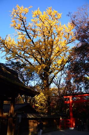 河合神社の公孫樹