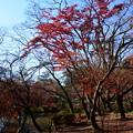 Photos: 初冬の紅葉