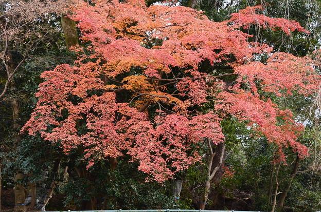 近衛邸跡の紅葉