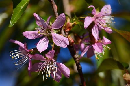 ヒマラヤ桜(ヒマラヤザクラ)
