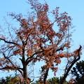 Photos: 紫陽花園の楓(フウ)