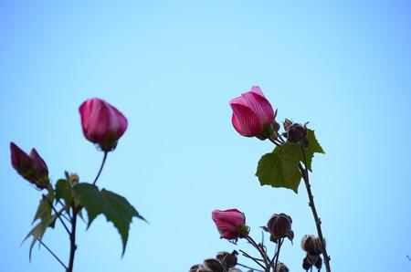 お正月に咲く芙蓉(フヨウ)