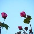 Photos: お正月に咲く芙蓉(フヨウ)