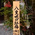 八重咲きの紅梅