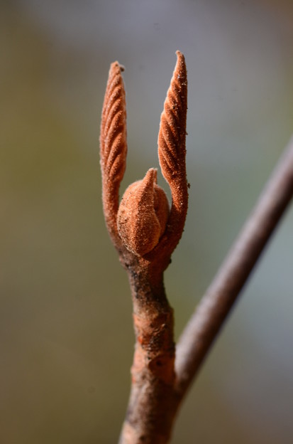 オオカメノキの冬芽