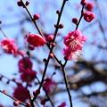 Photos: 水火天満宮の紅梅