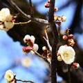 Photos: 東鳥居脇の白梅