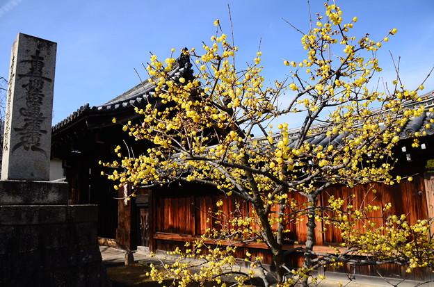 妙覚寺の素心蝋梅
