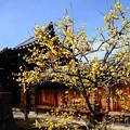 Photos: 妙覚寺の素心蝋梅