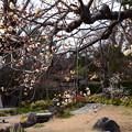 庭園の白梅