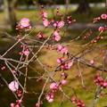 Photos: 梅林の紅梅