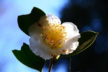 白雪(シラユキ)