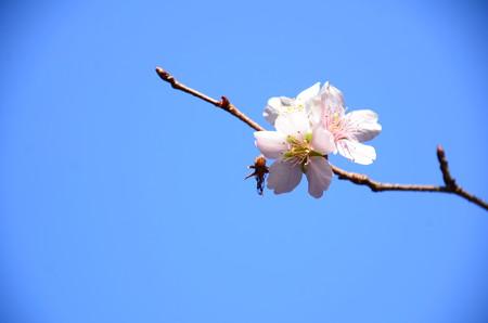 四季桜(シキザクラ)