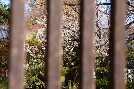 豊光寺の白梅