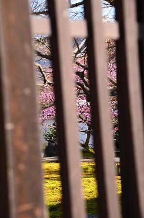 豊光寺の紅梅