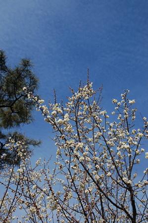 白梅と冬の雲