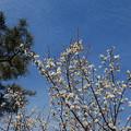 Photos: 白梅と冬の雲