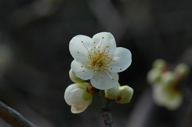 Photos: 緑萼(リョクガク)