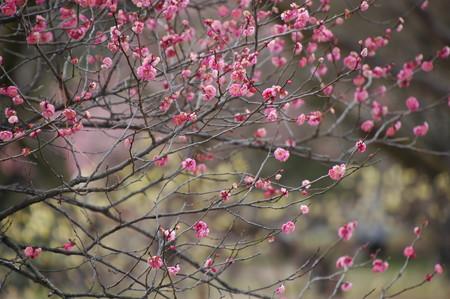 蝋梅の前に咲く紅梅