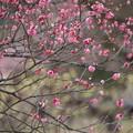 Photos: 蝋梅の前に咲く紅梅