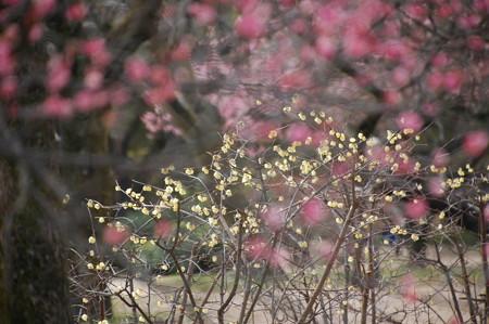 紅梅の奥に咲く蝋梅