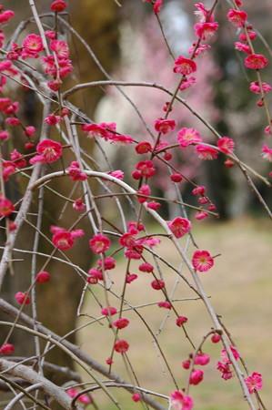 枝垂れ紅梅