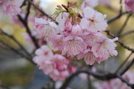 知恩寺の早咲きの桜