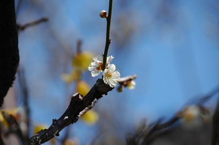 素心蝋梅の前の白梅