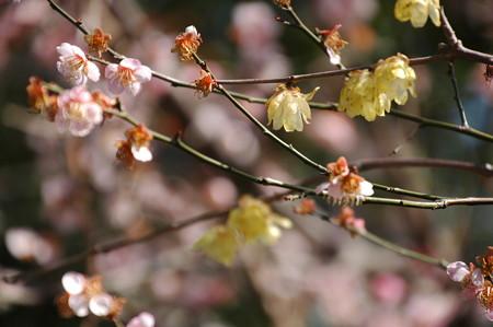 ピンクの梅と素心蝋梅