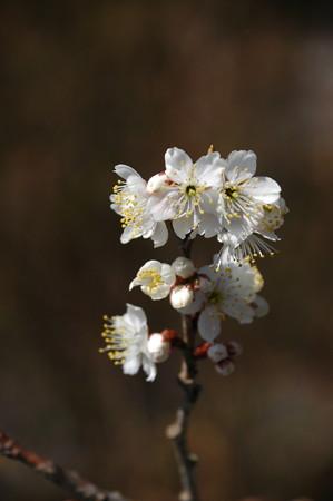 桃桜(モモザクラ)