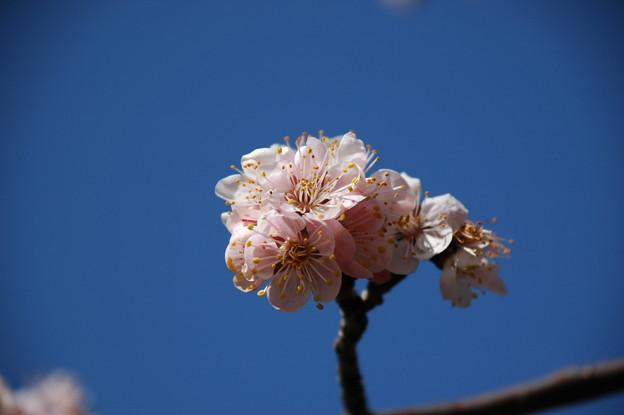うっすらピンクの梅